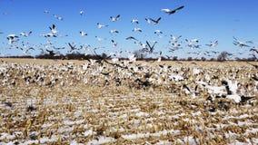 Multitud de los p?jaros takeing apagado de campo del invierno almacen de metraje de vídeo