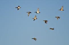 Multitud de los patos Anillo-Necked que vuelan en un cielo azul Fotos de archivo libres de regalías