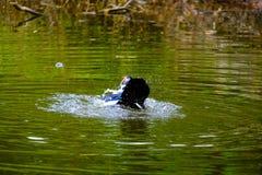 Multitud de los patos nacionales que nadan en los remansos Foto de archivo