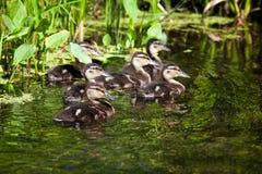 Multitud de los patos salvajes que nadan en una charca Imagen de archivo