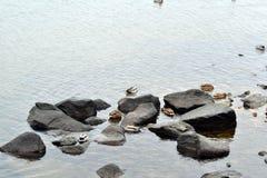 Multitud de los patos salvajes que se sientan en rocas en el río Imagenes de archivo
