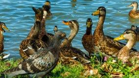 Multitud de los patos y de los patos machos del pato silvestre que caminan a lo largo de la orilla, comen el pan almacen de video