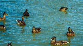 Multitud de los patos y de los patos machos del pato silvestre que nadan en el lago comen el pan almacen de video