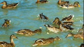 Multitud de los patos y de los patos machos del pato silvestre que nadan en el lago comen el pan metrajes