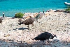 Multitud de los pavos reales coloridos que caminan en rocas de la costa de mar Fotografía de archivo