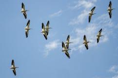 Multitud de los pelícanos blancos americanos que vuelan en un cielo azul Imagen de archivo