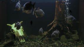Multitud de los pescados de la piraña del serrasalmus que festejan en acuario almacen de metraje de vídeo