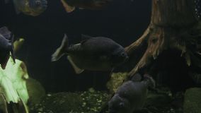 Multitud de los pescados de la piraña del serrasalmus que festejan en acuario metrajes