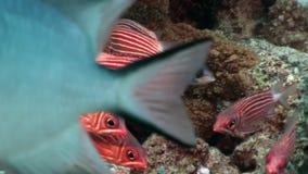 Multitud de los pescados rayados rojos brillantes subacuáticos en coral almacen de metraje de vídeo
