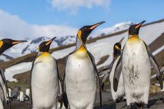 Multitud de los pingüinos de rey que parecen derechos en plumaje brillante de la cría Imágenes de archivo libres de regalías
