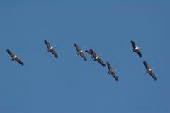 Multitud de los pájaros de ésos vuelo en el cielo azul Imagenes de archivo