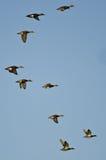 Multitud de los Wigeons americanos que vuelan en un cielo azul Foto de archivo