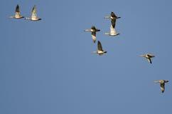Multitud de los Wigeons americanos que vuelan en un cielo azul Fotografía de archivo libre de regalías