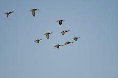 Multitud de los Wigeons americanos que vuelan en un cielo azul Imágenes de archivo libres de regalías