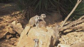 Multitud de meerkats almacen de metraje de vídeo