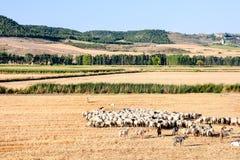 Multitud de ovejas imágenes de archivo libres de regalías