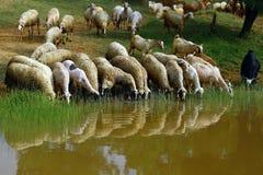 Multitud de ovejas Fotos de archivo libres de regalías