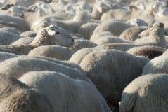 Multitud de ovejas. Foto de archivo libre de regalías
