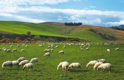 Multitud de ovejas imagen de archivo libre de regalías