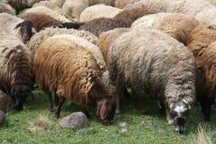 Multitud de ovejas Fotografía de archivo