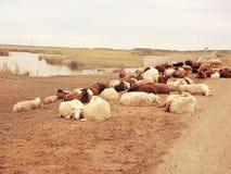 Multitud de ovejas Fotos de archivo