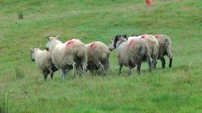Multitud de ovejas almacen de metraje de vídeo