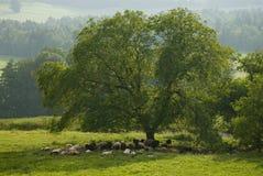 Multitud de ovejas bajo un árbol Fotos de archivo