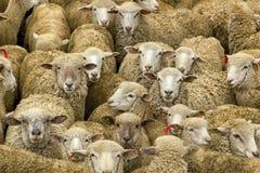 Multitud de ovejas bolivianas bendecidas Imágenes de archivo libres de regalías