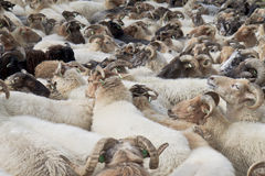 Multitud de ovejas cerca de Havelte en los Países Bajos Fotografía de archivo