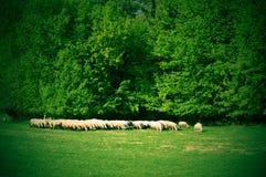 Multitud de ovejas cerca del bosque fotografía de archivo libre de regalías