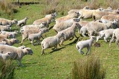 Multitud de ovejas durante la reunión Fotos de archivo