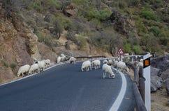 Multitud de ovejas en el camino Fotos de archivo libres de regalías