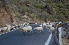 Multitud de ovejas en el camino Imagen de archivo libre de regalías