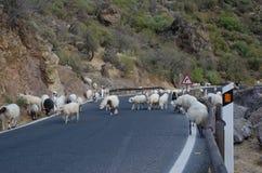 Multitud de ovejas en el camino Foto de archivo libre de regalías