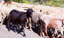 Multitud de ovejas en el camino Fotos de archivo