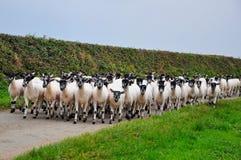 Multitud de ovejas en el camino, Blegberry, Devon, Inglaterra Fotografía de archivo