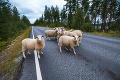 Multitud de ovejas en el camino en montañas de Escandinavia Fotografía de archivo libre de regalías