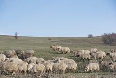 Multitud de ovejas en el país de Viscri, Transilvania Fotografía de archivo libre de regalías