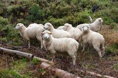 Multitud de ovejas en el pasto Imagen de archivo libre de regalías