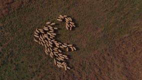 Multitud de ovejas en el prado almacen de video