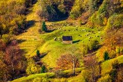 Multitud de ovejas en el prado cerca del bosque en montañas Fotos de archivo libres de regalías