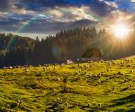 Multitud de ovejas en el prado cerca del bosque en montañas en la puesta del sol Imagen de archivo libre de regalías