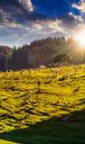 Multitud de ovejas en el prado cerca del bosque en montañas en la puesta del sol Imagenes de archivo