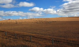 multitud de ovejas en Glassland en Inner Mongolia Imagen de archivo
