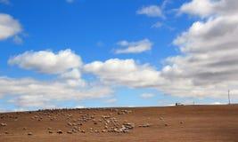 multitud de ovejas en Glassland en Inner Mongolia Foto de archivo libre de regalías