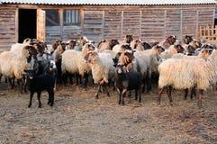 Multitud de ovejas en granja imagenes de archivo