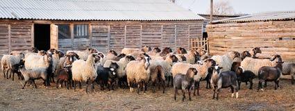 Multitud de ovejas en granja imágenes de archivo libres de regalías