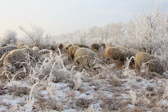 Multitud de ovejas en invierno Imágenes de archivo libres de regalías