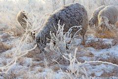 Multitud de ovejas en invierno Foto de archivo libre de regalías