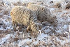 Multitud de ovejas en invierno Imagenes de archivo